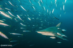 Blacktip in action D600 by Spencer Burrows 